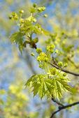 Fiori e foglie di acero — Foto Stock