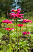 Kırmızı aster — Stok fotoğraf
