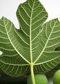 Fig Leave — Stock Photo