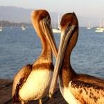 California Pelicans — Stock Photo #35353405