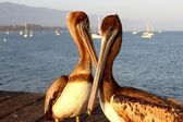 California Pelicans — Stock Photo