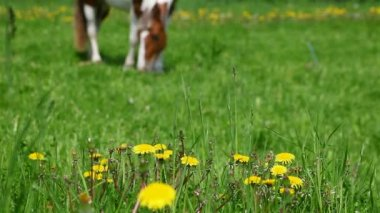 Horse grazing in the meadow — Stock Video