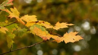 Branch of maple autumn leaves — Stock Video