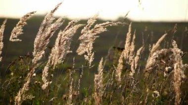 Beautiful texture of autumn grass — Stock Video