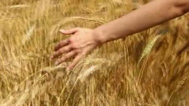 Hand and wheat — Stock Video