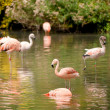 Chilean flamingos, Phoenicopterus chilensis, in a zoo — Stock Photo