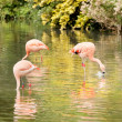 Three Chilean flamingos, Phoenicopterus chilensis, in a zoo — Stock Photo