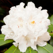 White rhododendron blossom — Stock Photo