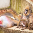 Mandrill family, Mandrillus sphinx, in a zoo — Stock Photo