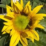 Sunflower — Stock Photo #13200653