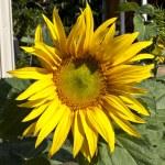Sunflower — Stock Photo #13200736