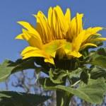 Sunflower — Stock Photo #13200738