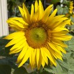 Sunflower — Stock Photo #13200751