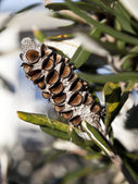 Banksia Seed Pod — Stock Photo