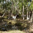 Cattle by the Creek — Photo