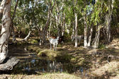 Cattle by the Creek — Stock Photo