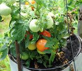 сад помидоров. — Стоковое фото