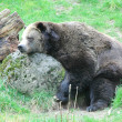 Stock Photo: Bear sleeping.