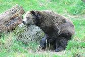 Bear sleeping. — Stock Photo