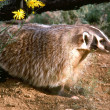 Stock Photo: Wild badger.