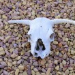 Cows skull. — Stock Photo