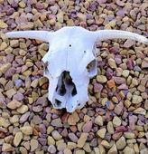 Inek kafatası. — Stok fotoğraf