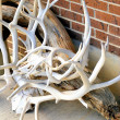 Stock Photo: Elk horns.
