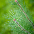 fir tree — Stock Photo #12778219