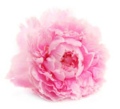 Peony in over white — Stock Photo
