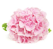 Pink flower in over white — Stock Photo