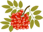 Rowanberry — Stock Vector