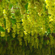 Chardonnay. harvesting grapes — Stockfoto