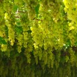 Foto de Stock  : Chardonnay. harvesting grapes
