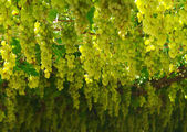 Chardonnay. harvesting grapes — Foto Stock