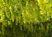 Chardonnay. oogsten van druiven — Stockfoto