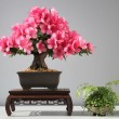 Blooming bonsai azalea — Stock Photo #46661157
