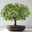 Bonsai elm tree — Stock Photo #46661159