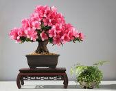 Blooming bonsai azalea — Stock Photo