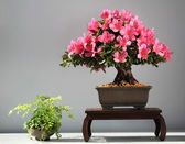 Blooming bonsai azalea — Stock Photo