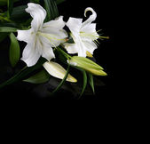 White lily on black background — Stock Photo