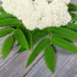 Stock Photo: Mountain ash flower