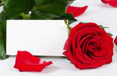 The red roses isolated on white background — Stock Photo