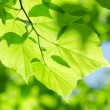 Spring leaves on a tree branch - Stock Photo