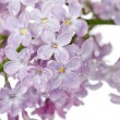 Beautiful lilac isolated on white background - Stock Photo