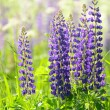 Stock Photo: Flowers lupin in the field closeup