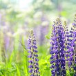 Flowers lupin in the field closeup — Stock Photo