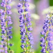 Flowers lupin in the field closeup — Stock Photo #28323837
