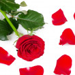 Stock Photo: The red roses isolated on white background
