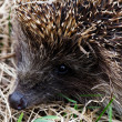 Stock Photo: Hedgehog in a grass