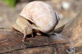 The snail creeps on a tree — Stock Photo